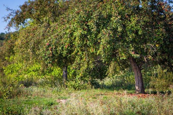 秋天的苹果园图片图片大全 秋天苹果园摄影图 田园风光图片