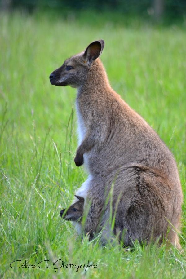 袋鼠(wallaby)