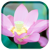 個人化App|荷花动态桌布 LOGO-3C達人阿輝的APP